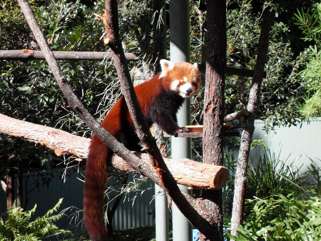 Firefox Roter Panda
