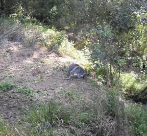 Ein Wallaby in Australien (Reisetagebuch Australien: Die Glass House Mountains)