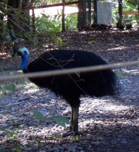 Helmkasuar im Zoo Australien