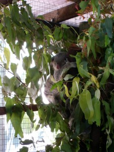 Koalabär Australien