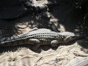 Krokodil im Zoo Australien