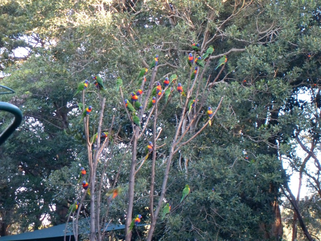 Lorikeets Fütterung in Currumbin