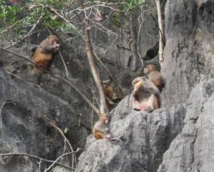 Affen in der Ha Long Bucht