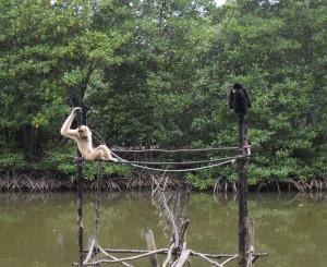 Gibbons in Vietnam (Reisetagebuch Vietnam: Besuch eines alten Vietcong-Lagers im Mangrovenwald)