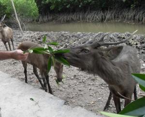Vietnamesische Rehe werden gefüttert (Reisetagebuch Vietnam: Besuch eines alten Vietcong-Lagers im Mangrovenwald)