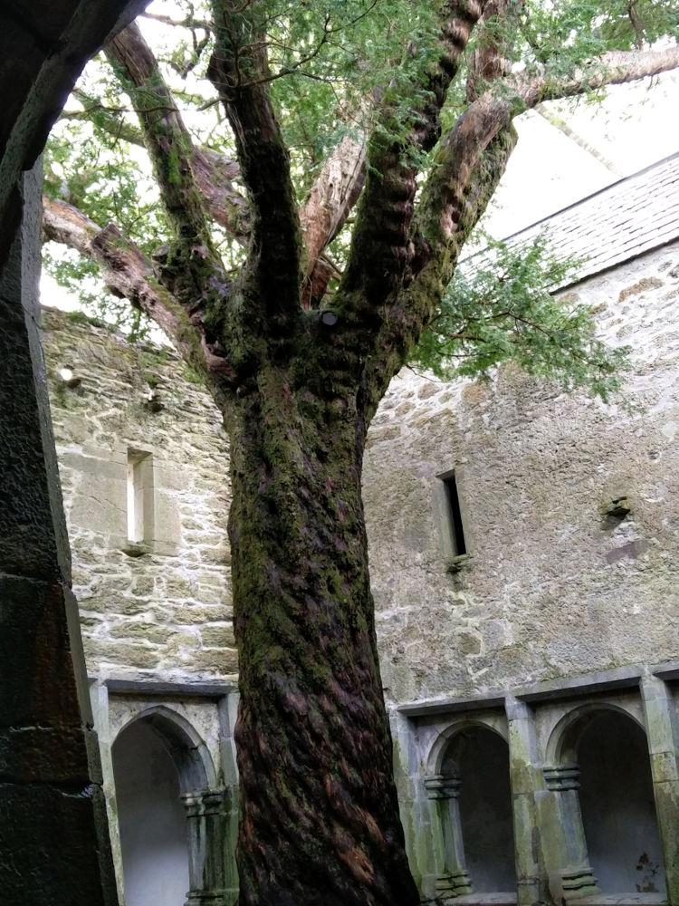 Baum in der Muckross Abbey