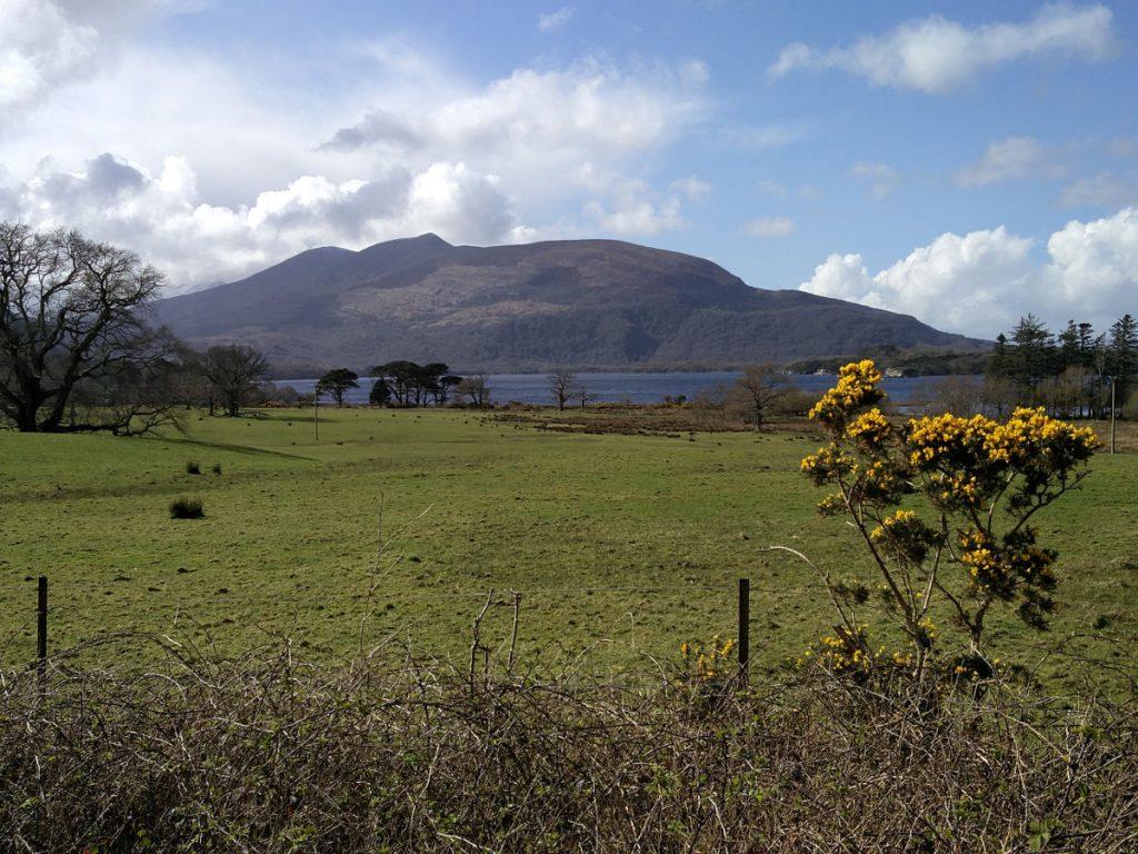 Ginster und Landschaft im Killarney-Nationalpark