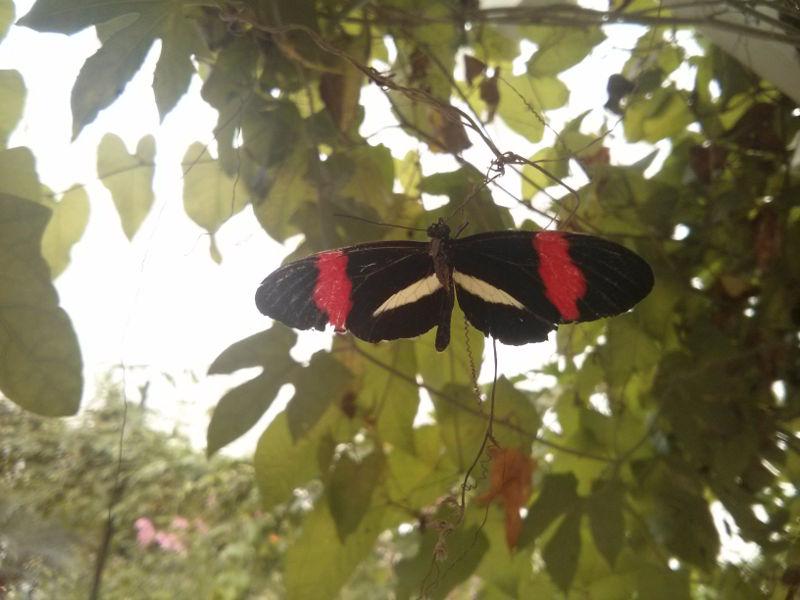 Postmann Schmetterling Heliconius-melpomene-im-Garten der Schmetterlinge