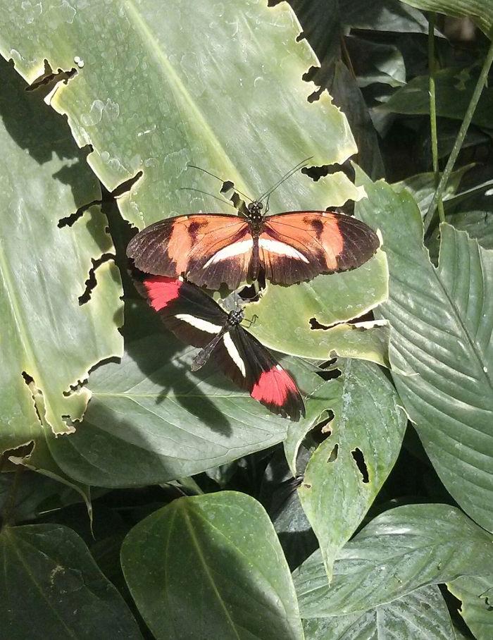 Schmetterlinge Postmann Heliconius melpomene Monarch Danaus plexippus im Garten der Schmetterlinge