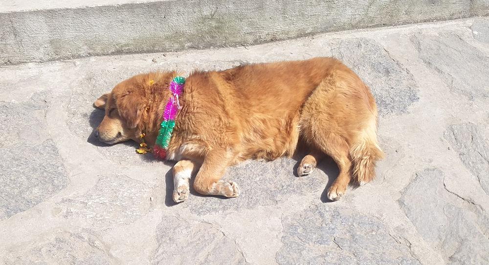 "Geschmückter Hund anläßlich des ""Festival of the dogs"" Tag des Hundes in Lukla in Nepal"